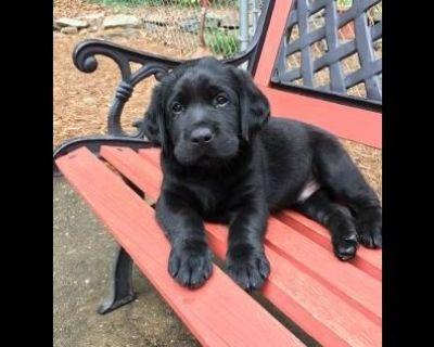English Labrador Retriever Puppy