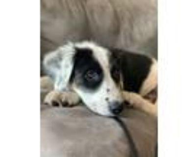 Adopt Poppy a Black - with White Labrador Retriever / Border Collie / Mixed dog
