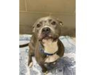 Adopt Frappe a Gray/Blue/Silver/Salt & Pepper American Pit Bull Terrier / Mixed