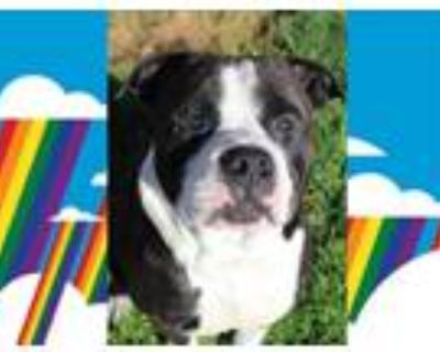 Adopt *OSCAR a Black - with White American Pit Bull Terrier / Mixed dog in