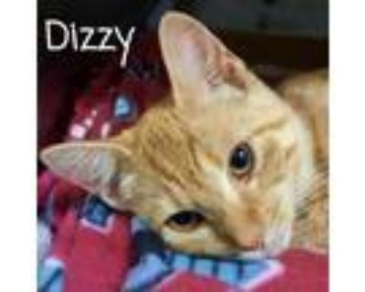 Adopt Dizzy a Orange or Red Domestic Shorthair / Mixed cat in Madisonville