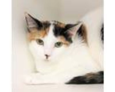 Adopt Peanut a All Black Domestic Shorthair / Domestic Shorthair / Mixed cat in