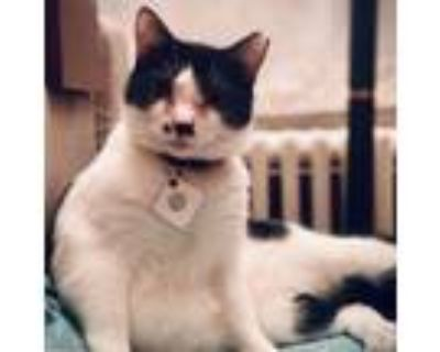 Adopt Mustache a White Domestic Shorthair / Mixed cat in Fairfax Station
