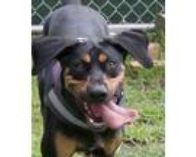 Adopt KOBE a Coonhound, Doberman Pinscher