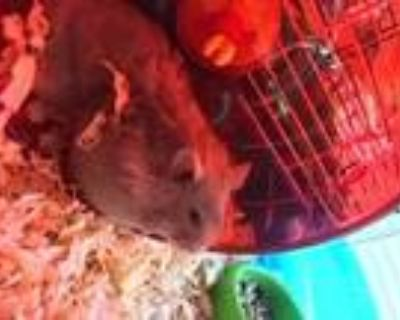 Pinkie, Hamster For Adoption In Portsmouth, Virginia