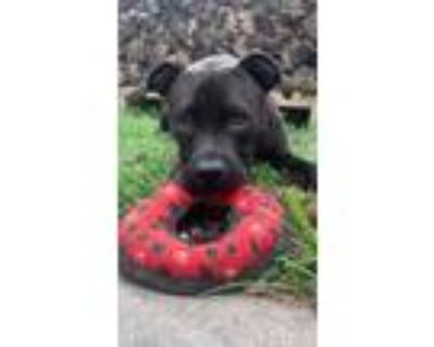 Adopt Royal a Black American Pit Bull Terrier / Mixed dog in Kansas City