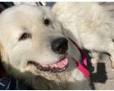 Adopt Rufus - Wireless fence trained a Great Pyrenees