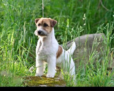 Russell Terrier Puppies