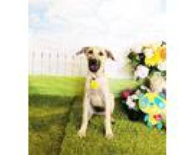 Adopt Arvin a Tan/Yellow/Fawn Labrador Retriever / Mixed dog in Castro Valley