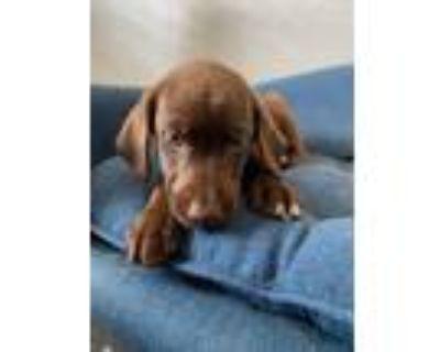Adopt Centennial a Brown/Chocolate Labrador Retriever / Pointer / Mixed dog in