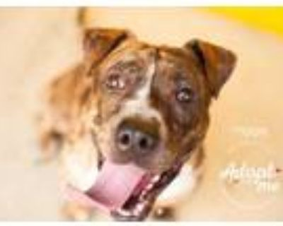 Adopt Miggie a Brown/Chocolate American Pit Bull Terrier / Mixed dog in Visalia