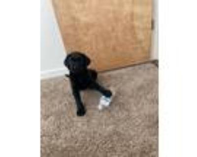 Adopt Ted a Black Labrador Retriever / Mixed dog in BOULDER, CO (31646620)