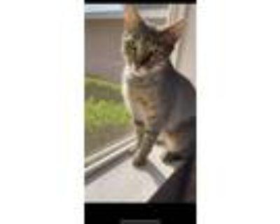Adopt Daisy 3208 a Domestic Shorthair / Mixed cat in Bonsall, CA (31909112)
