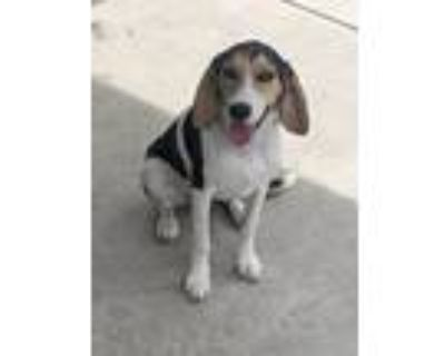 Adopt Zoey a Brown/Chocolate - with Black Beagle / Mixed dog in North Hills
