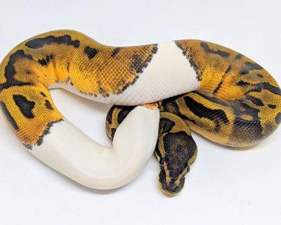 Pied Ball Python Proven Breeder Male