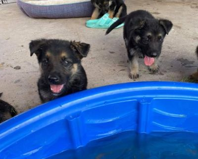 German shepherd puppies in El Paso TX