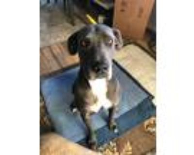 Adopt Dozer a Black - with White Great Dane / Mixed dog in Colorado Springs
