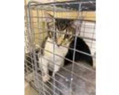 Adopt BRANDON a Brown Tabby Domestic Shorthair / Mixed (short coat) cat in Fort