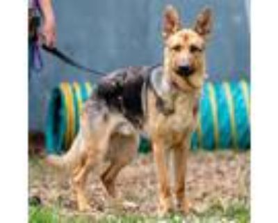 Adopt Channing a Black German Shepherd Dog / Mixed dog in Oakland, CA (32005298)