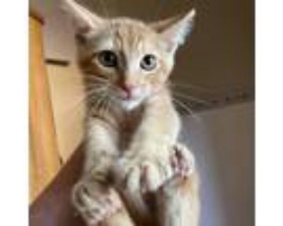 Adopt Egg Shell a Orange or Red Domestic Shorthair / Mixed cat in Wichita