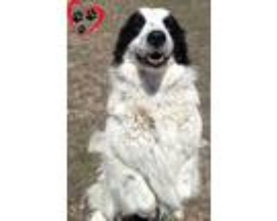 Adopt Snoopy a White Australian Cattle Dog / Bernese Mountain Dog / Mixed dog in