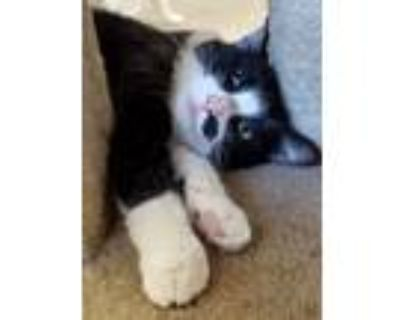 Adopt Scratchy a Domestic Short Hair