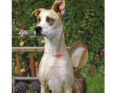 Adopt Sweet cakes a Tan/Yellow/Fawn Labrador Retriever / Mixed dog in Yuma