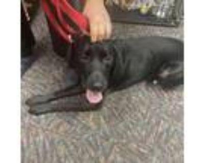 Adopt Benny a Black Labrador Retriever