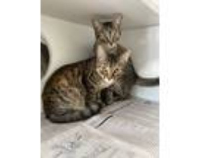 Adopt Eclipse a Brown Tabby Domestic Shorthair (short coat) cat in Newport