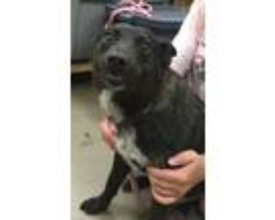 Adopt Taz a Black - with White Australian Cattle Dog / Mixed dog in Amarillo
