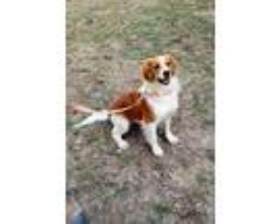 Adopt Maggie a Red/Golden/Orange/Chestnut - with White English Springer Spaniel