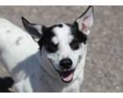 Adopt Panda a White - with Black Husky / Terrier (Unknown Type