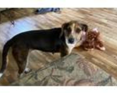 Adopt Lulu a Tricolor (Tan/Brown & Black & White) Hound (Unknown Type) / Mixed