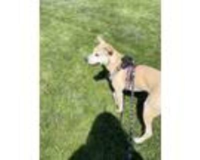 Adopt Nala a Tan/Yellow/Fawn Labrador Retriever / Jindo / Mixed dog in El Paso