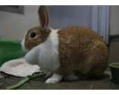 Adopt Verlinda a Orange Dutch / Mixed (medium coat) rabbit in Berkeley
