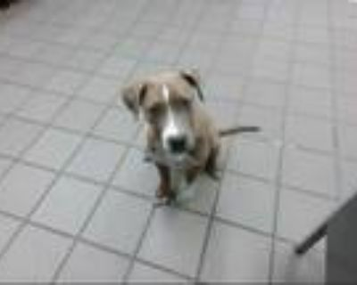 Adopt JULIUS a Brown/Chocolate American Pit Bull Terrier / Mixed dog in