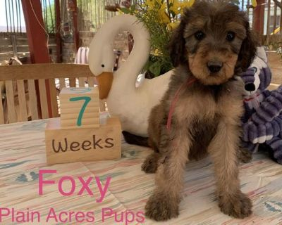 Airedale Poodle: Airedoodle
