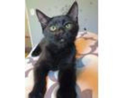 Adopt Batman 3154 a Domestic Shorthair / Mixed cat in Bonsall, CA (32141935)