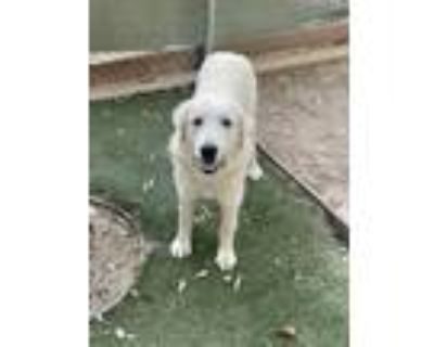 Adopt Ellie a Great Pyrenees