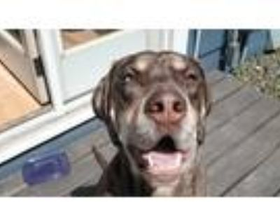 Adopt Ollie a Tan/Yellow/Fawn Catahoula Leopard Dog / Mixed dog in White Bear