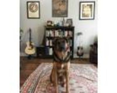 Adopt Nikoo a Black - with Tan, Yellow or Fawn German Shepherd Dog / Retriever
