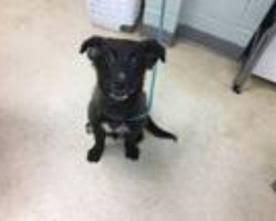 Adopt ETHEL a Labrador Retriever, Collie