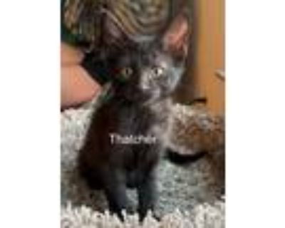 Adopt Thatcher a All Black Domestic Shorthair (short coat) cat in Mansfield