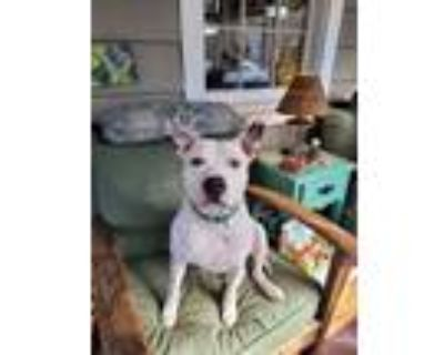 Adopt Deuce Jr. a White American Pit Bull Terrier / Mixed dog in Newport News