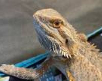 Adopt Ziki a Lizard reptile, amphibian, and/or fish in Las Vegas, NV (29816048)