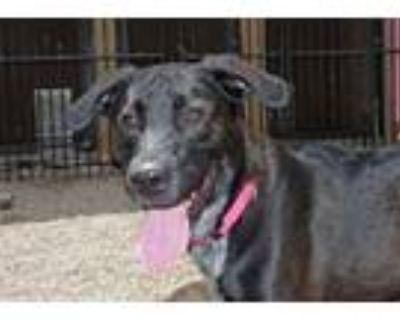 Adopt Diego a Labrador Retriever, Mixed Breed