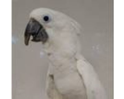 Adopt Astro a Cockatoo