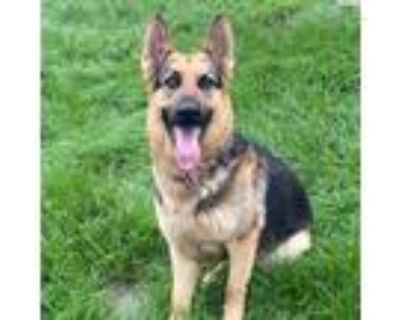 Adopt Fielder Solitaire a Black German Shepherd Dog / Mixed dog in Mission