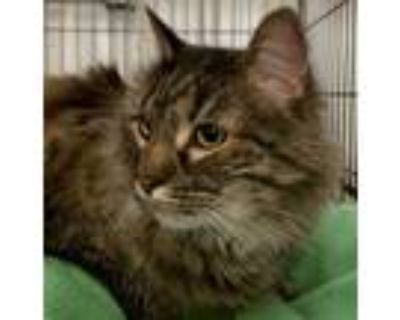 Adopt Cookie a Black (Mostly) Domestic Longhair / Mixed (long coat) cat in
