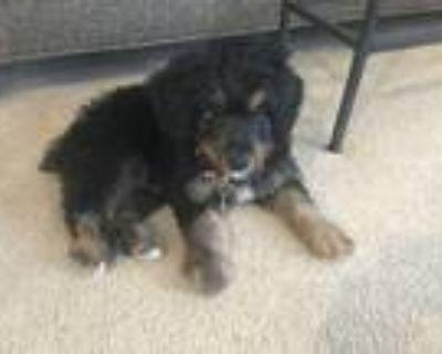 Adopt Gus a Tricolor (Tan/Brown & Black & White) Australian Shepherd / Poodle